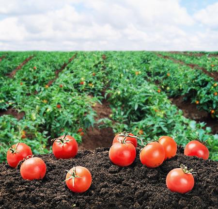 oogst van rijpe rode tomaat op de grond op het veld Stockfoto