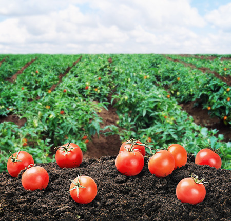 harvest of ripe red tomato on the ground on the field Archivio Fotografico