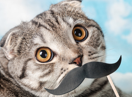 mustaches: portrait of a young Scottish Fold cat with paper mustaches. Focus on eyes