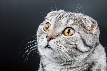 portrait of a young Scottish Fold cat. Place on a black background can be used for the text photo