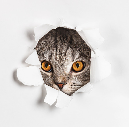 Cat looks through a hole in paper. Place on paper can be used for the text. focus on eyes