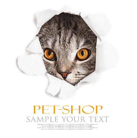 Cat looks through a hole in paper. Place on paper can be used for the text. focus on eyes photo