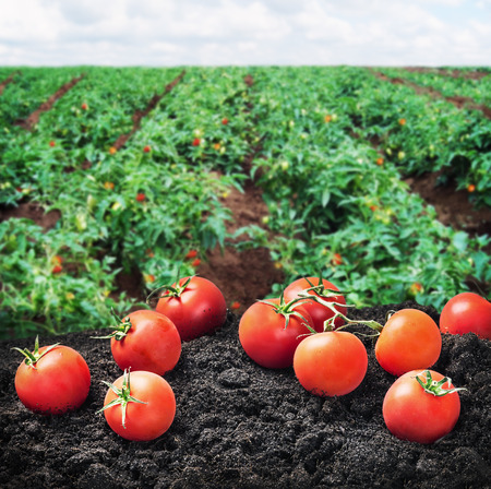 oogst van rijpe rode tomaat op de grond op het veld. Focus op de tomaat in de voorgrond Stockfoto