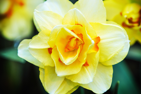 jonquil: Blooming Narcissus in the garden close-up. shallow depth of field. Soft focus