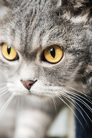 conceived: British cat on the hunt. cat look. Focus on the eyes. vignetting conceived as an artistic effect Stock Photo