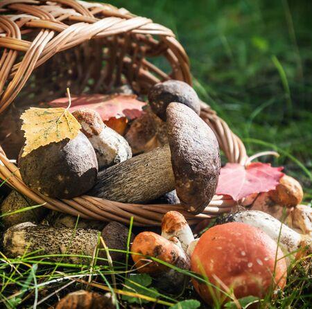 harvest brown cap boletus in a basket. vignette made for artistic effect