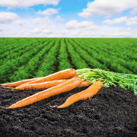 Harvest fresh carrots on the ground on a background of field Stock Photo
