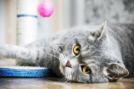conceived: British cat is sleeping on the floor. cat look. Focus on the eyes. vignetting conceived as an artistic effect