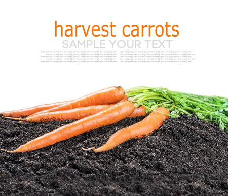 deleted: Harvest carrots on earth isolated on white background. text deleted