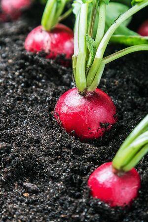 radishes: Fresh radishes in vegetable garden or a field. Harvest radishes Stock Photo