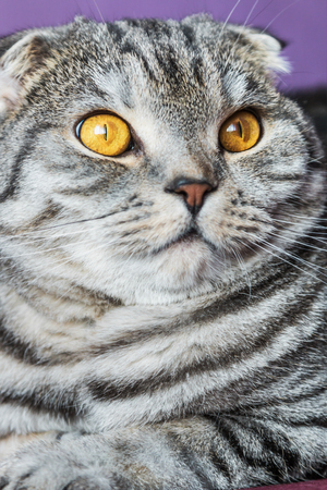 gray cat: closer look of the Scottish fold cat on a purple background. portrait Stock Photo