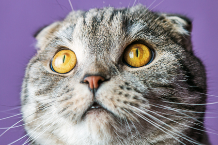 closer look of the Scottish fold cat on a purple background. portrait Stock Photo
