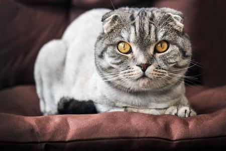 cat Scottish fold trimmed without a sad look Banco de Imagens