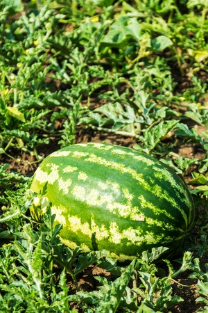 harvest of ripe watermelons on the melon on a summer day Imagens