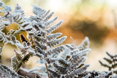 gefrorene Herbstfarnblätter in Eiskristallen. Herbst Natur
