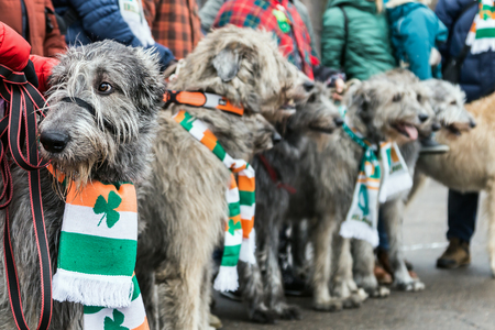 Moscow, Russia-March 16, 2019: Irish wolfhounds at St. Patricks day in Sokolniki Park. Moscow