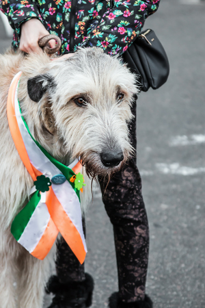 Moscow, Russia-March 16, 2019: Irish wolfhounds at Saint Patricks Day in Sokolniki Park. Moscow Publikacyjne