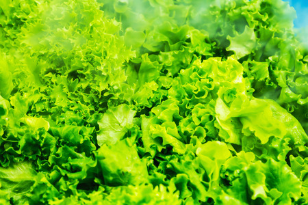 fresh lettuce in the fridge. Frosty steam envelops the leaves and allows you to stay fresh longer Banco de Imagens