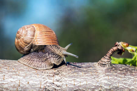 large grape snail crawls on a tree in the garden