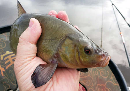 fish tench is caught by a fisherman and lies in the net of a fishing net. The fish is released back into the lake