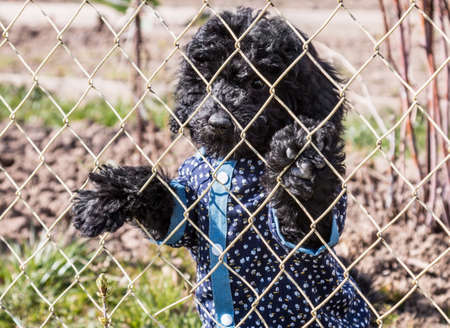 black poodle dog in a funny shirt looks out from behind a chain-link fence