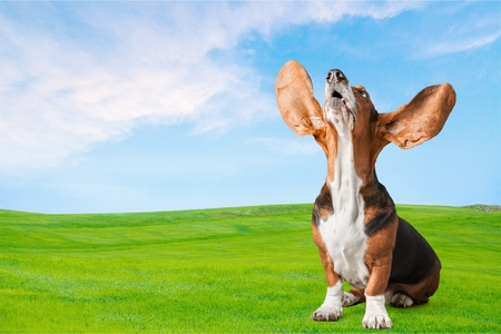 humor: Dog, Humor, Basset Hound. Stock Photo