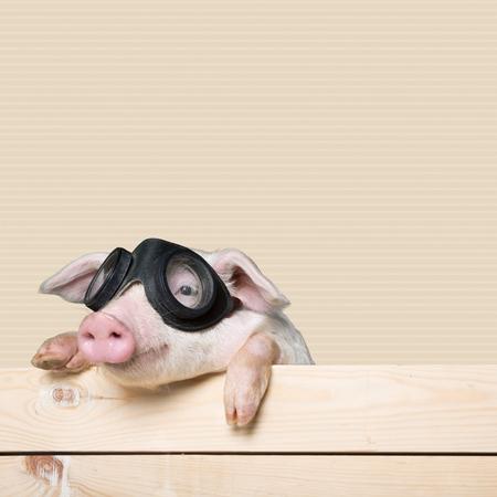 young pig: Animals, pig, piglet.
