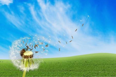wishing: Dandelion, Wishing, Human Fertility.
