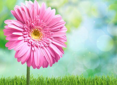 daisy pink: Daisy, Gerbera Daisy, Pink. Stock Photo