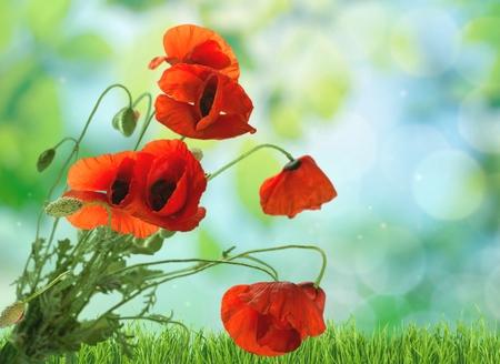 descriptive colour: Poppy, Flower, Red.