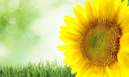 single flower: Sunflower, Plant, Single Flower.