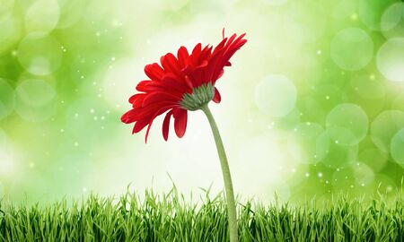 gerbera daisy: Gerbera Daisy, Daisy, Single Flower. Stock Photo