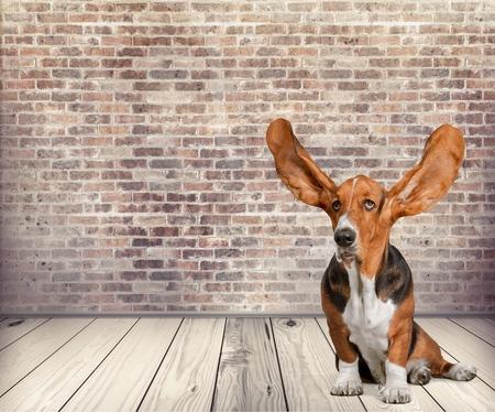개, 듣기, 동물 귀.