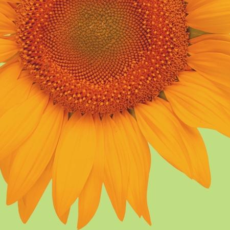 single object: Sunflower, Isolated, Single Object.