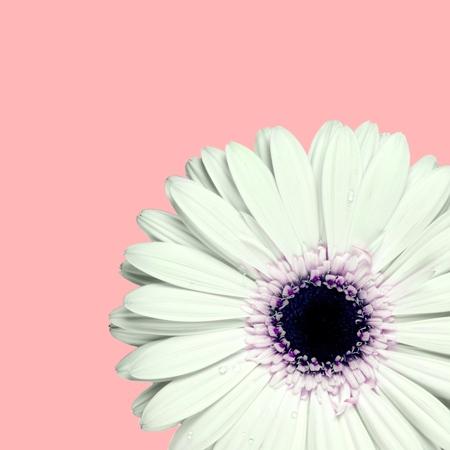 daisy pink: Gerbera Daisy, Daisy, Pink. Stock Photo