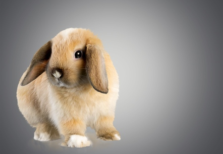 lop eared: Rabbit, Animal, Pets.