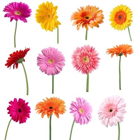 p�querette: Fleur, Une seule fleur, Gerbera. Banque d'images