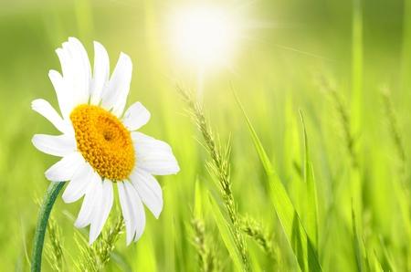 一輪の花、デイジーの花。 写真素材
