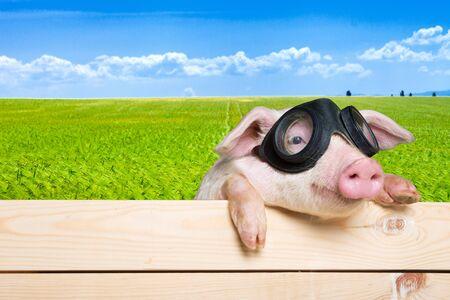 Animals, pig, piglet.