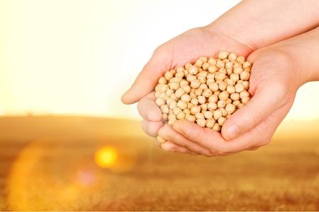 harvest field: Soybean, soy, field.