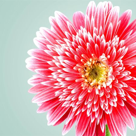 gerbera daisy: Gerbera Daisy, Single Flower, Pink.