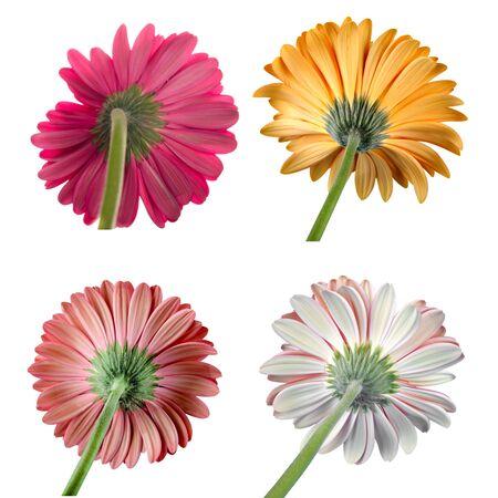 single flower: Gerbera Daisy, Daisy, Single Flower. Stock Photo
