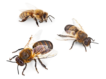 busy bees: Bee, Honey Bee, Insect.