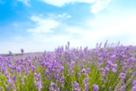 lavendin: Lavender, France, Provence-Alpes-Cote dAzur.