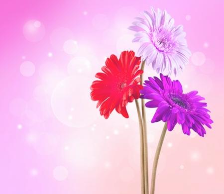 gerbera daisy: Gerbera Daisy, Bouquet, Daisy.