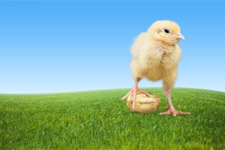 young bird: Easter, Easter Egg, Young Bird.