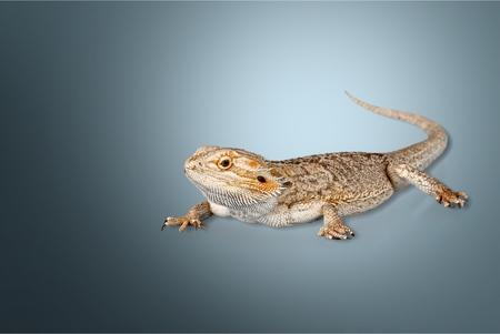 bearded dragon lizard: Bearded Dragon, Lizard, Iguana.
