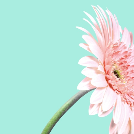 filming point of view: Gerbera Daisy, Daisy, Pink. Stock Photo