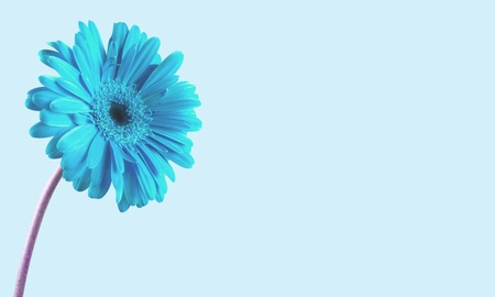 gerbera daisy: Flower, Single Flower, Gerbera Daisy.
