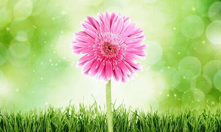 gerbera daisy: Gerbera Daisy, Single Flower, Flower.